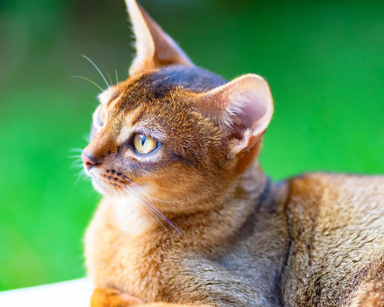 Un gato puma - 1280x1024