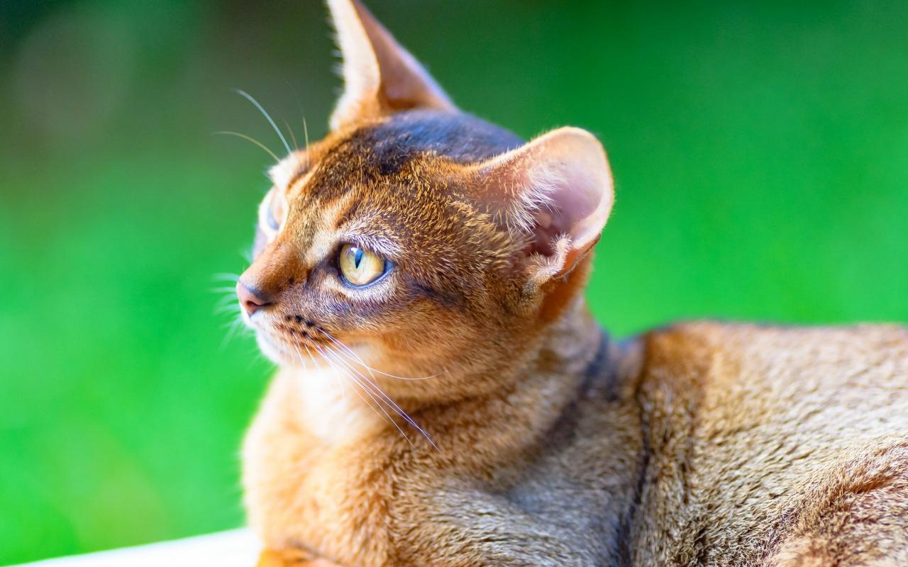 Un gato puma - 1280x800