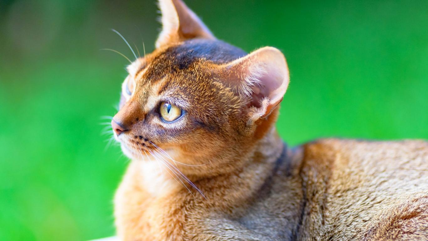 Un gato puma - 1366x768