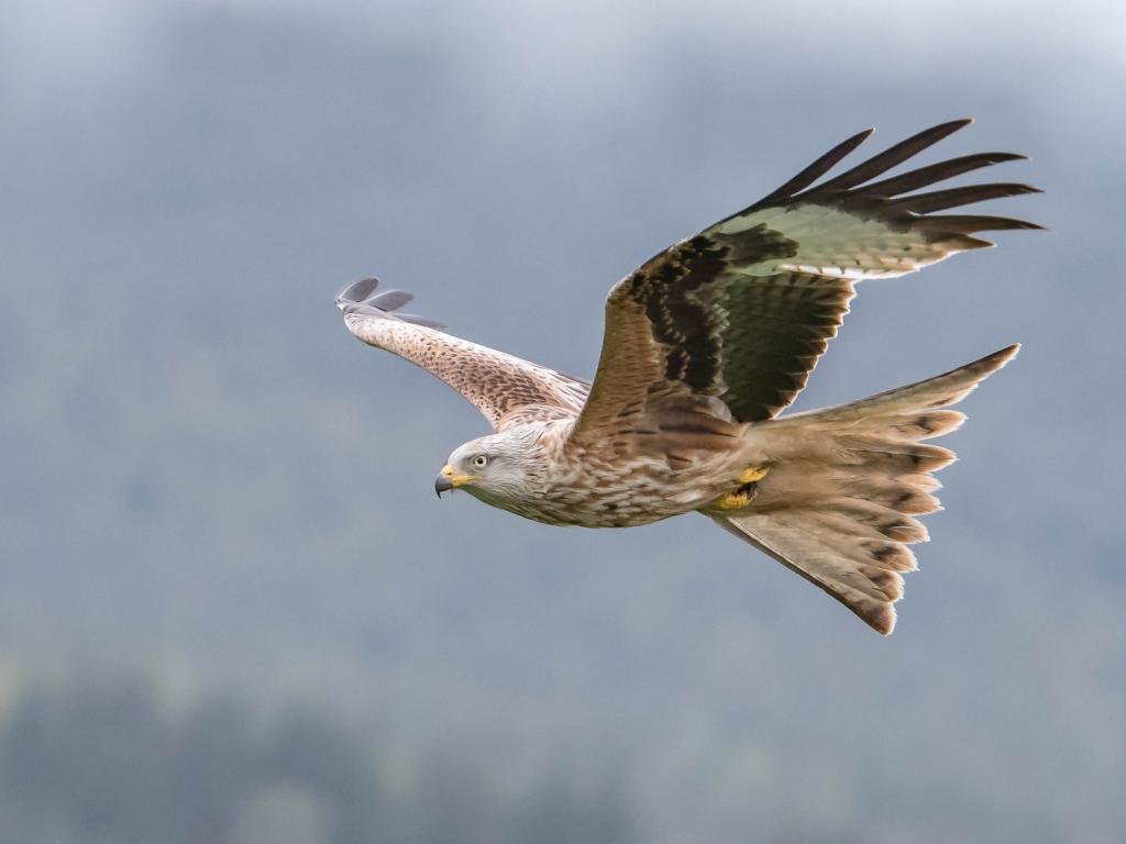 Aguila volando - 1024x768