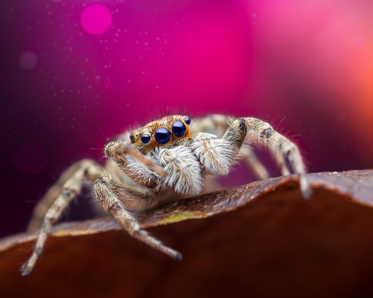 Araña saltadora - 1280x1024