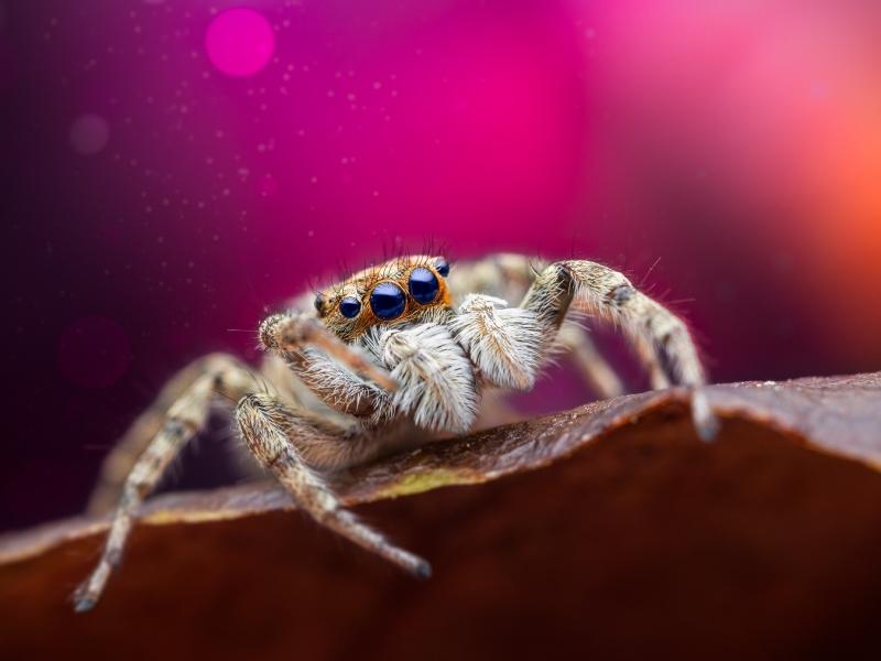 Araña saltadora - 800x600