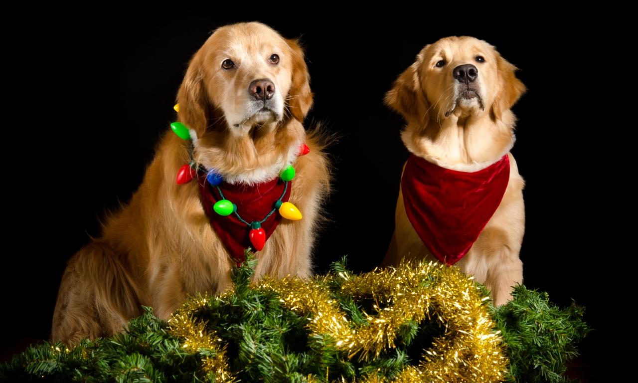Perros con adornos Navidad - 1280x768
