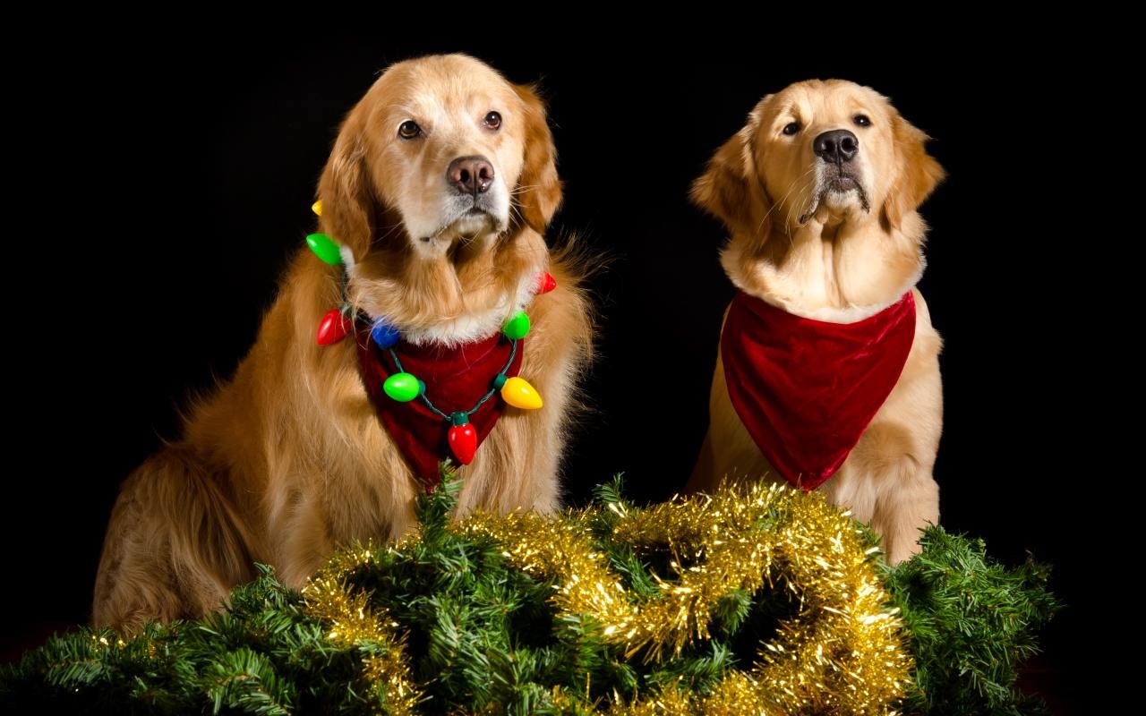 Perros con adornos Navidad - 1280x800