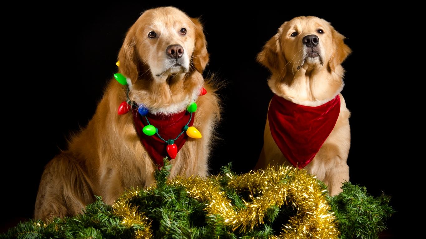 Perros con adornos Navidad - 1366x768