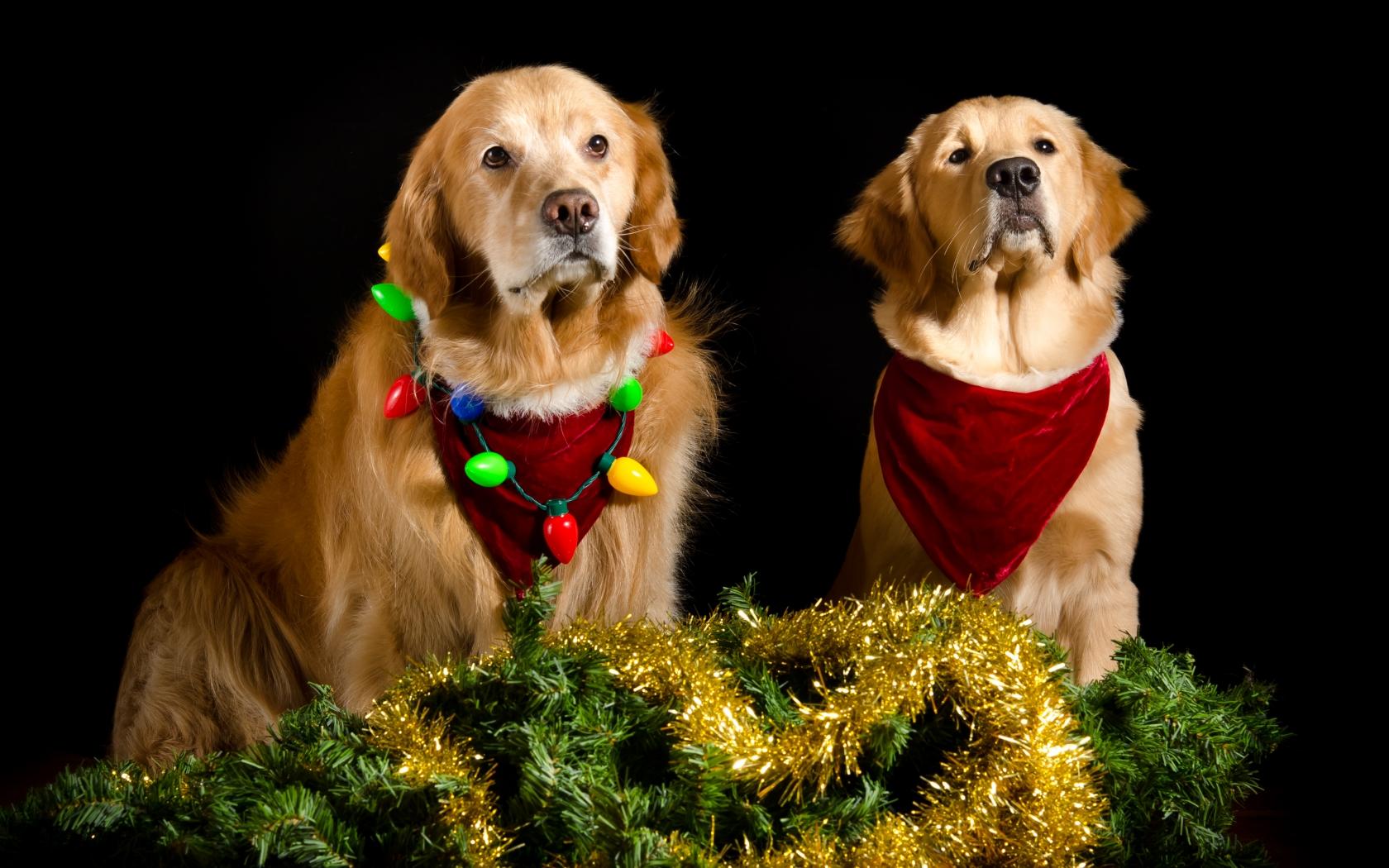 Perros con adornos Navidad - 1680x1050