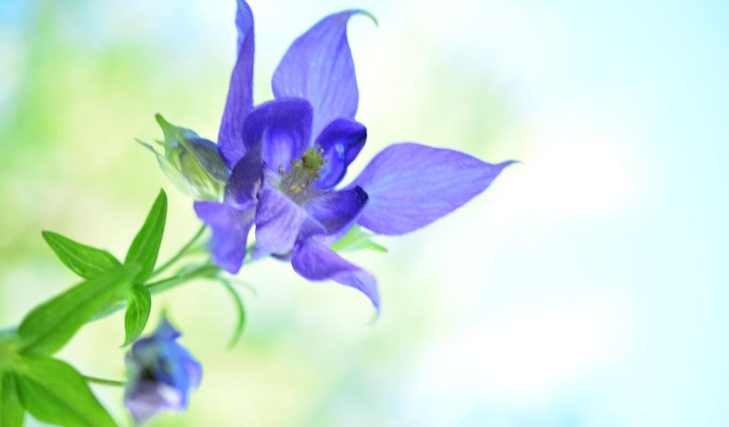 Bella flor azul - 1024x600