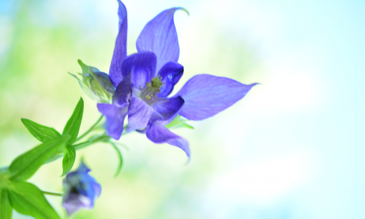 Bella flor azul - 1280x768