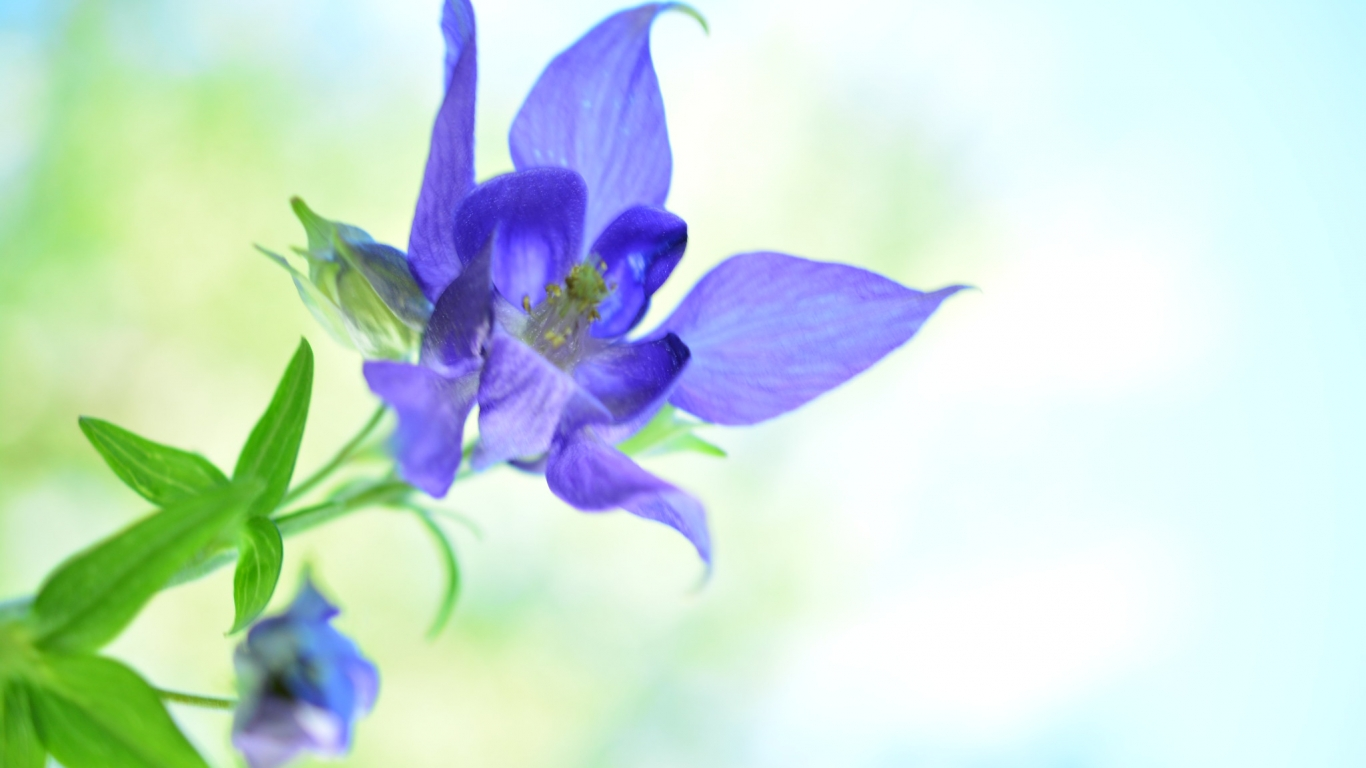 Bella flor azul - 1366x768
