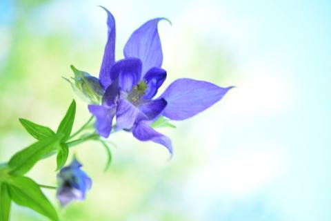 Bella flor azul - 480x320