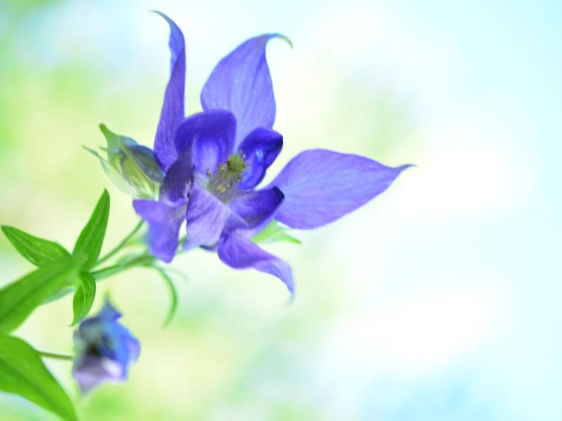 Bella flor azul - 800x600