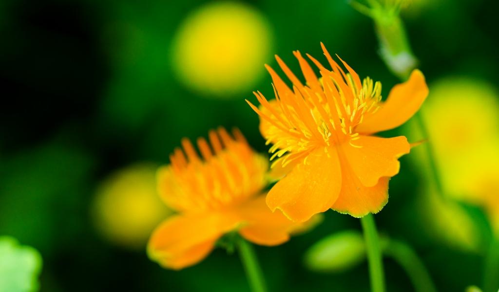 Flores naranjas - 1024x600