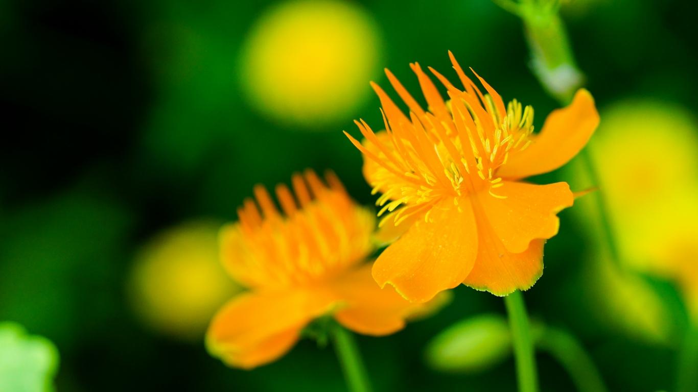 Flores naranjas - 1366x768