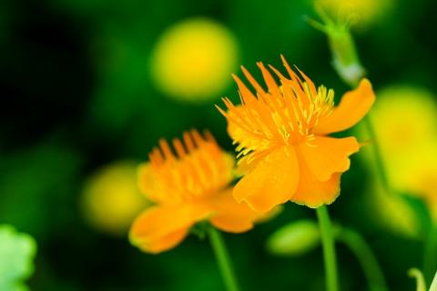 Flores naranjas - 480x320