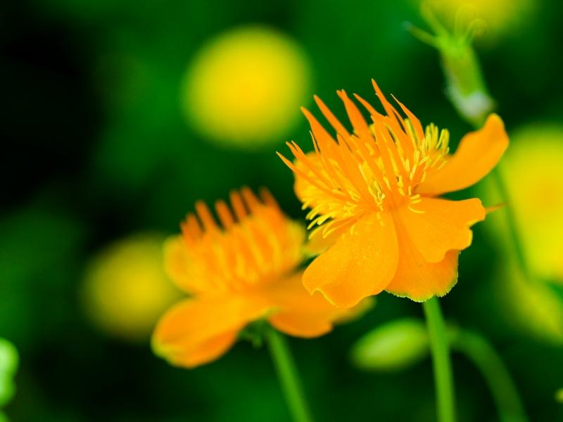 Flores naranjas - 800x600