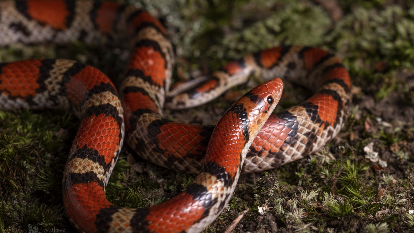 Serpiente de Coral - 1366x768