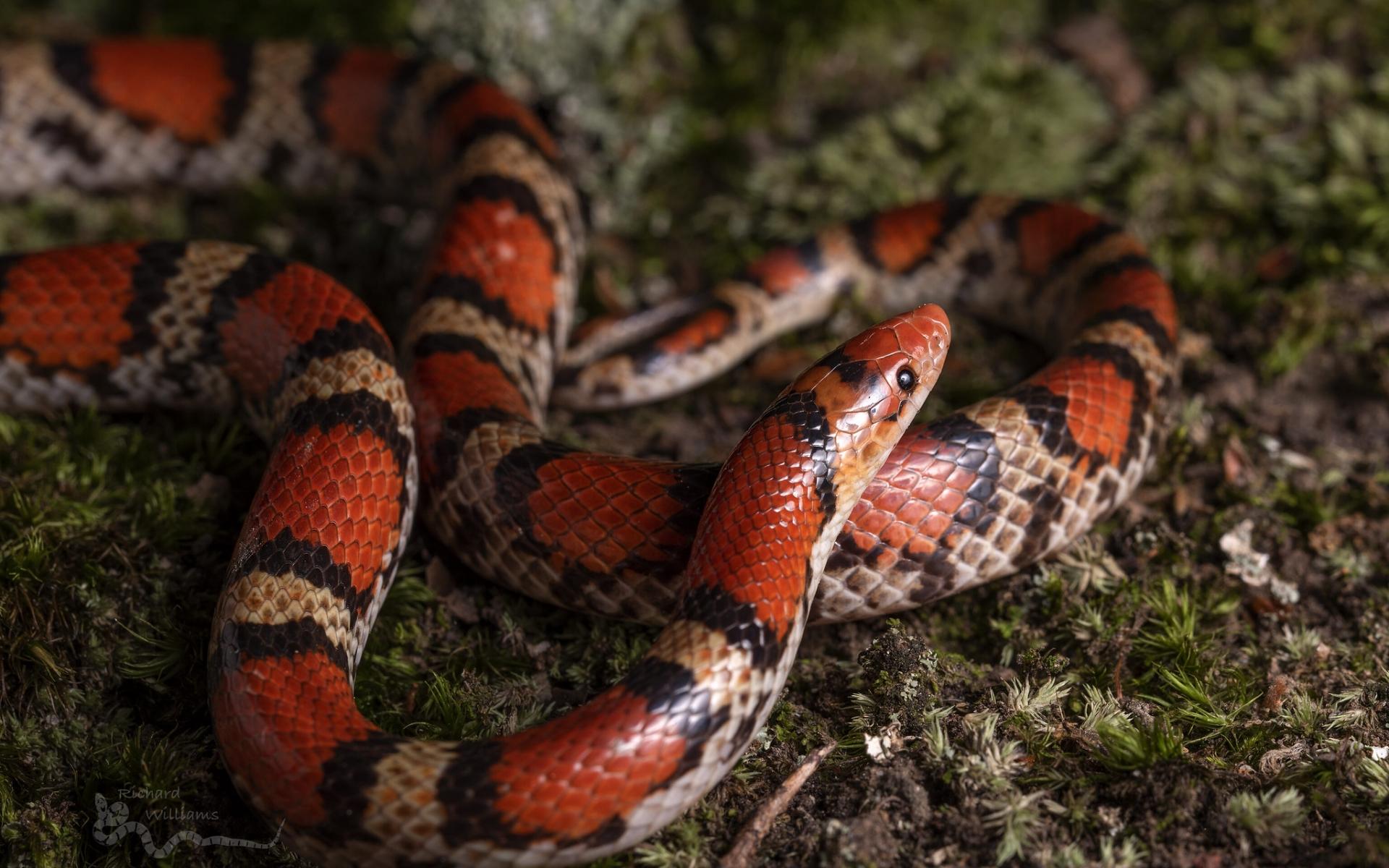 Serpiente de Coral - 1920x1200