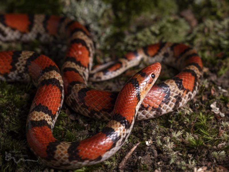 Serpiente de Coral - 800x600