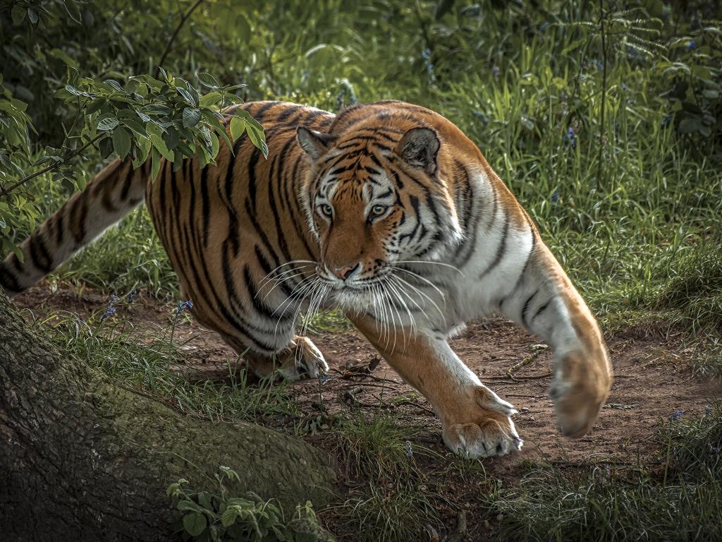 Tigre corriendo - 1024x768