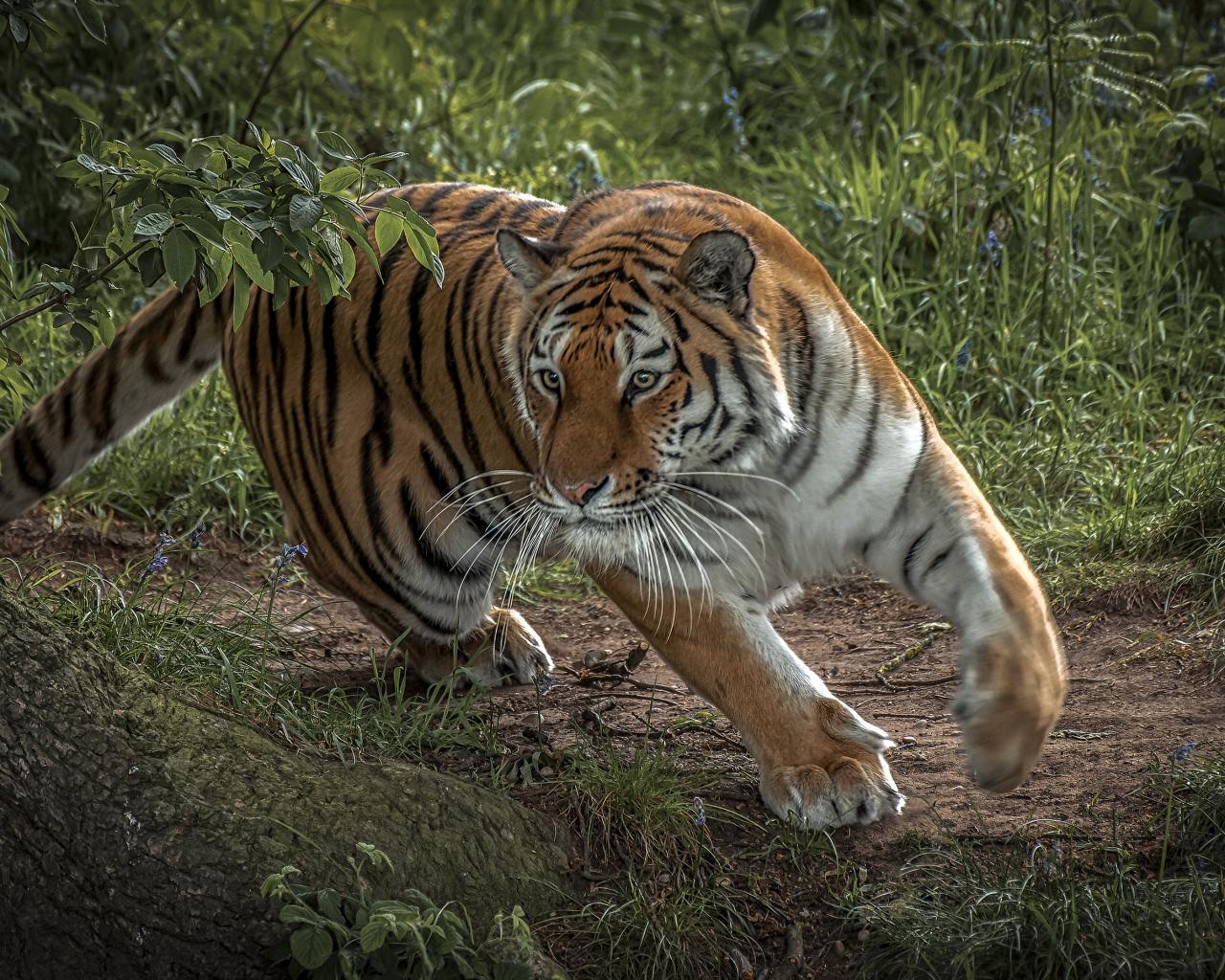 Tigre corriendo - 1280x1024