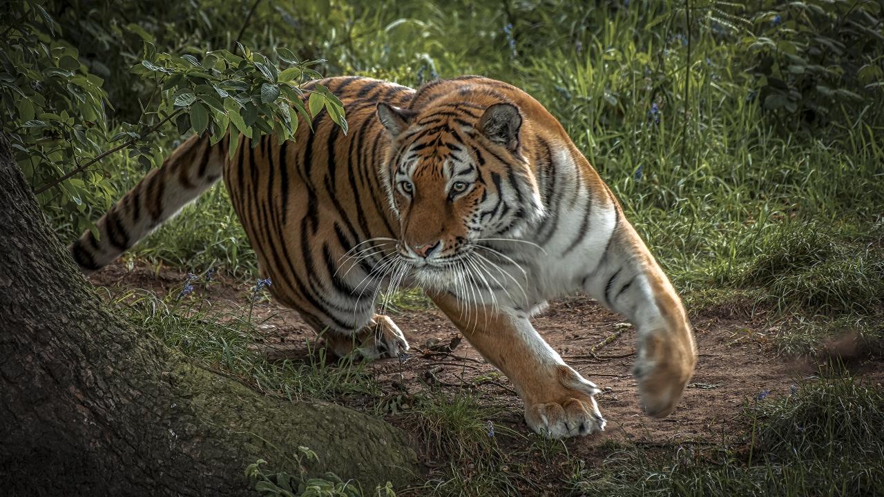 Tigre corriendo - 1280x720