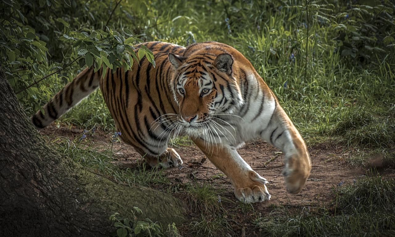 Tigre corriendo - 1280x768