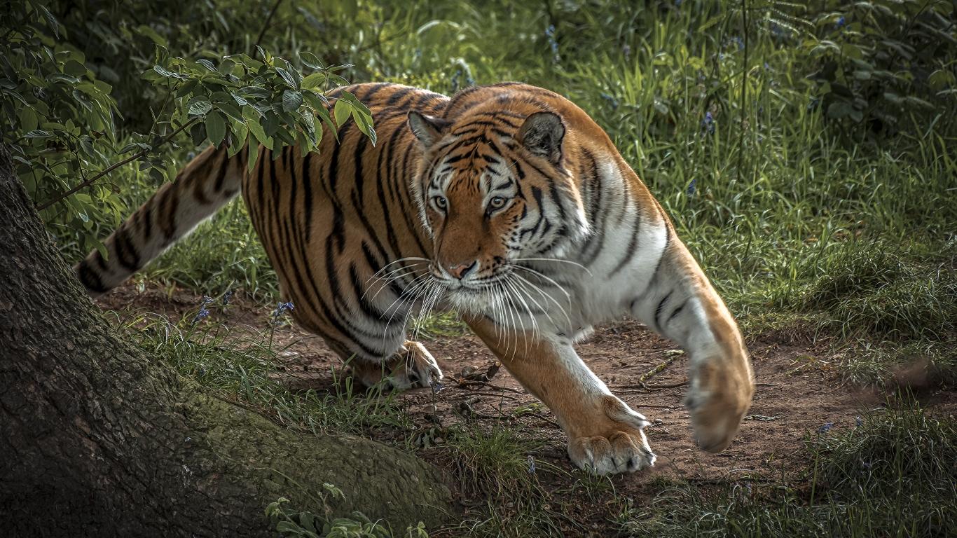 Tigre corriendo - 1366x768