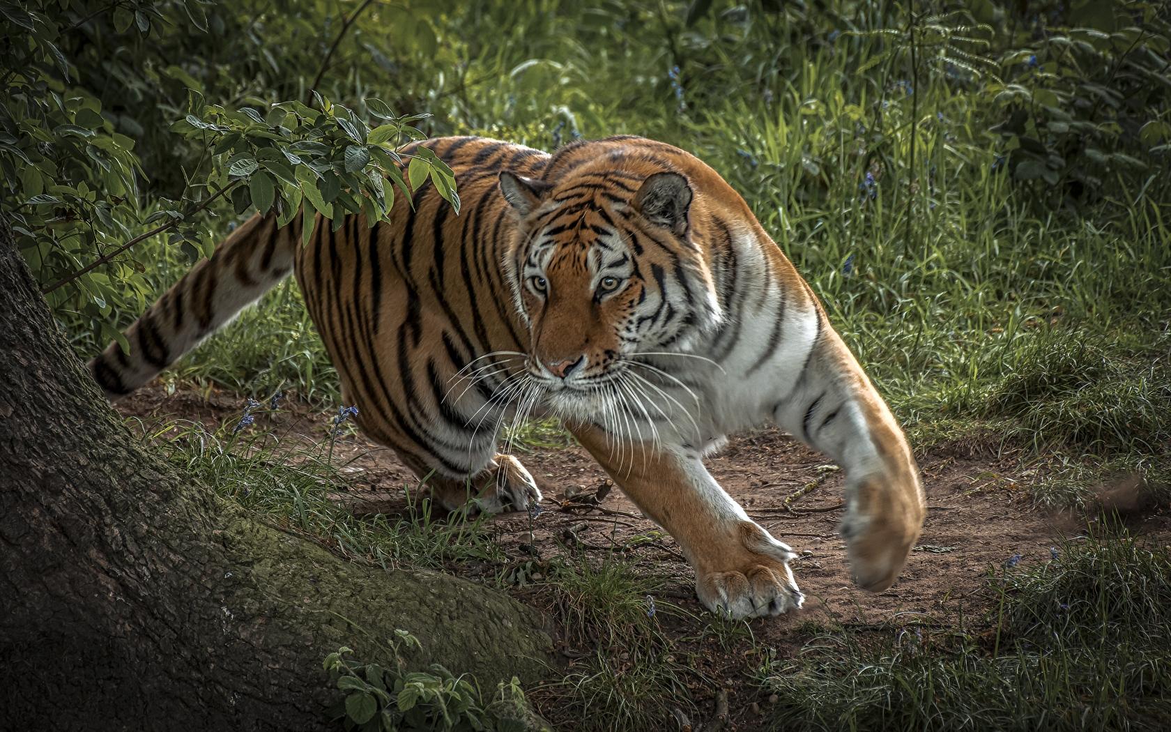 Tigre corriendo - 1680x1050