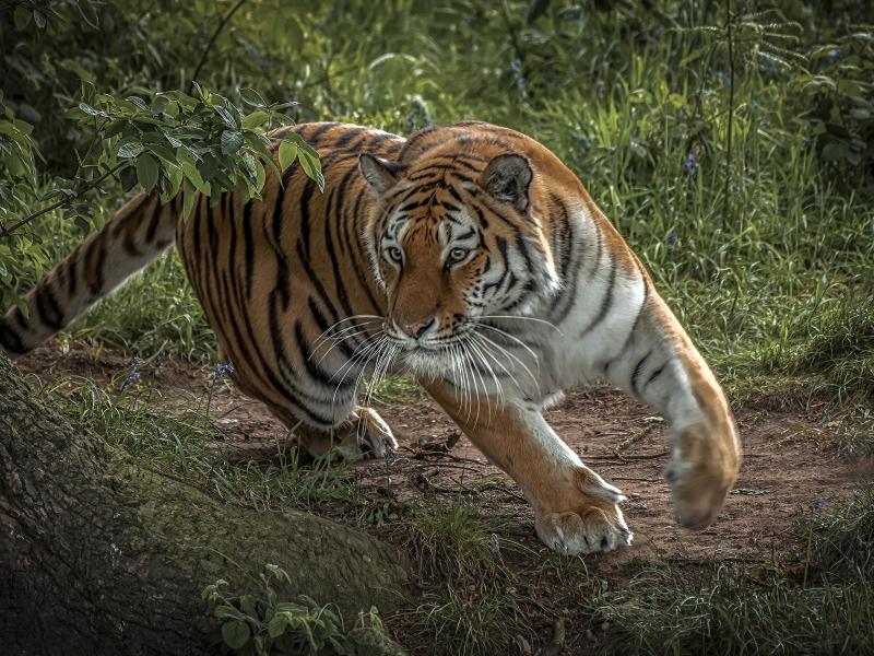 Tigre corriendo - 800x600