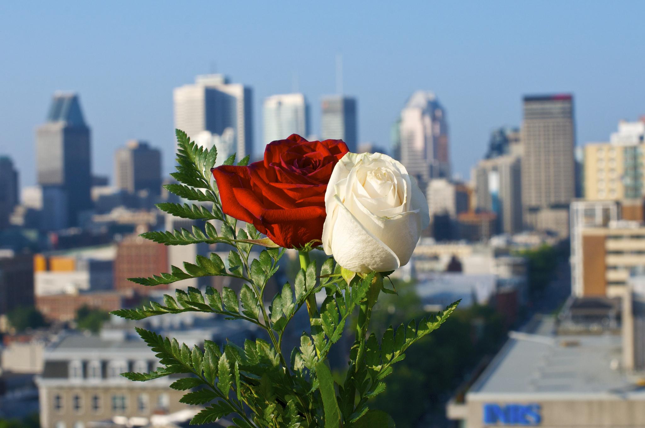 Rosas blanca y roja - 2048x1360