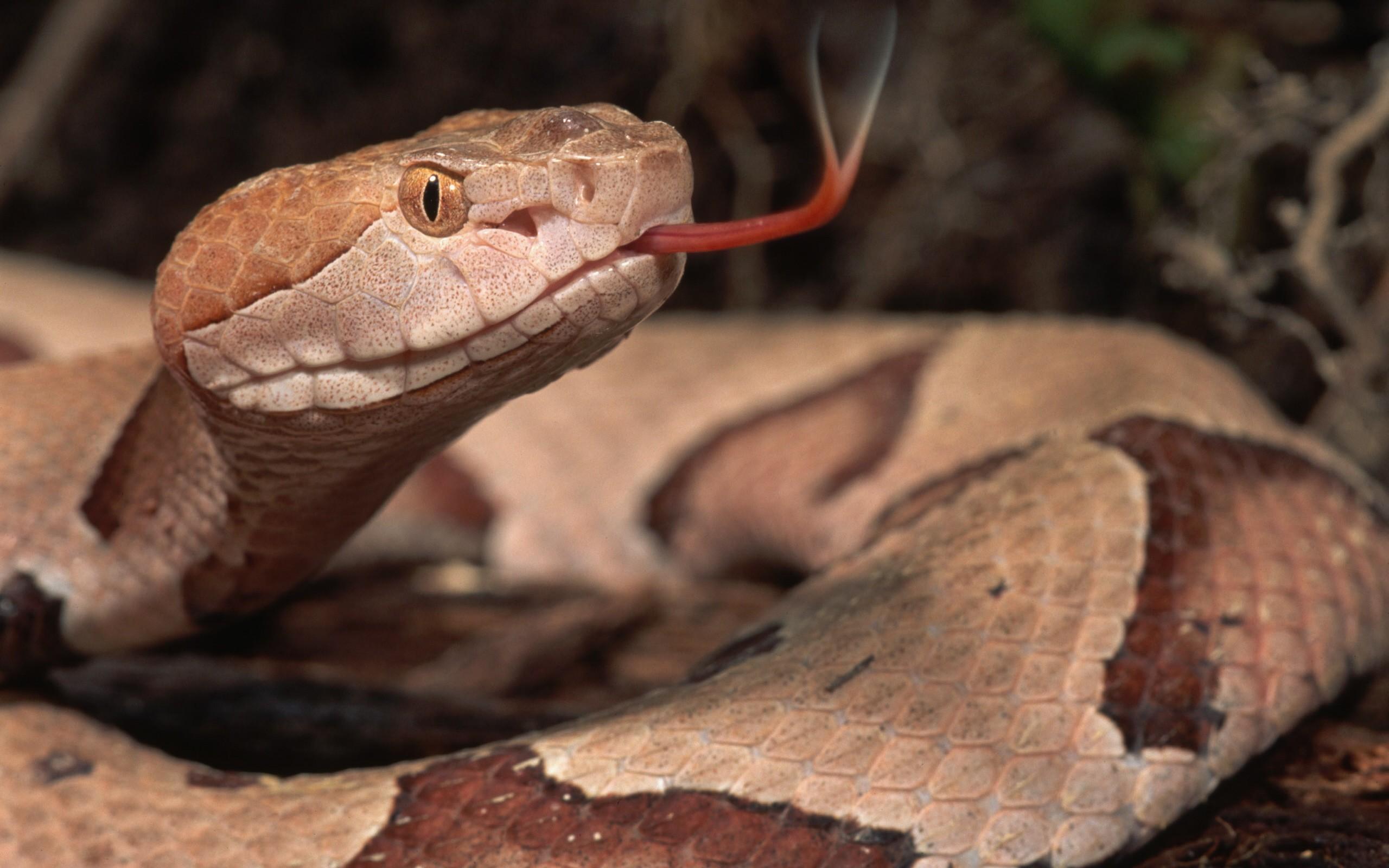 Serpiente con lengua afuera - 2560x1600