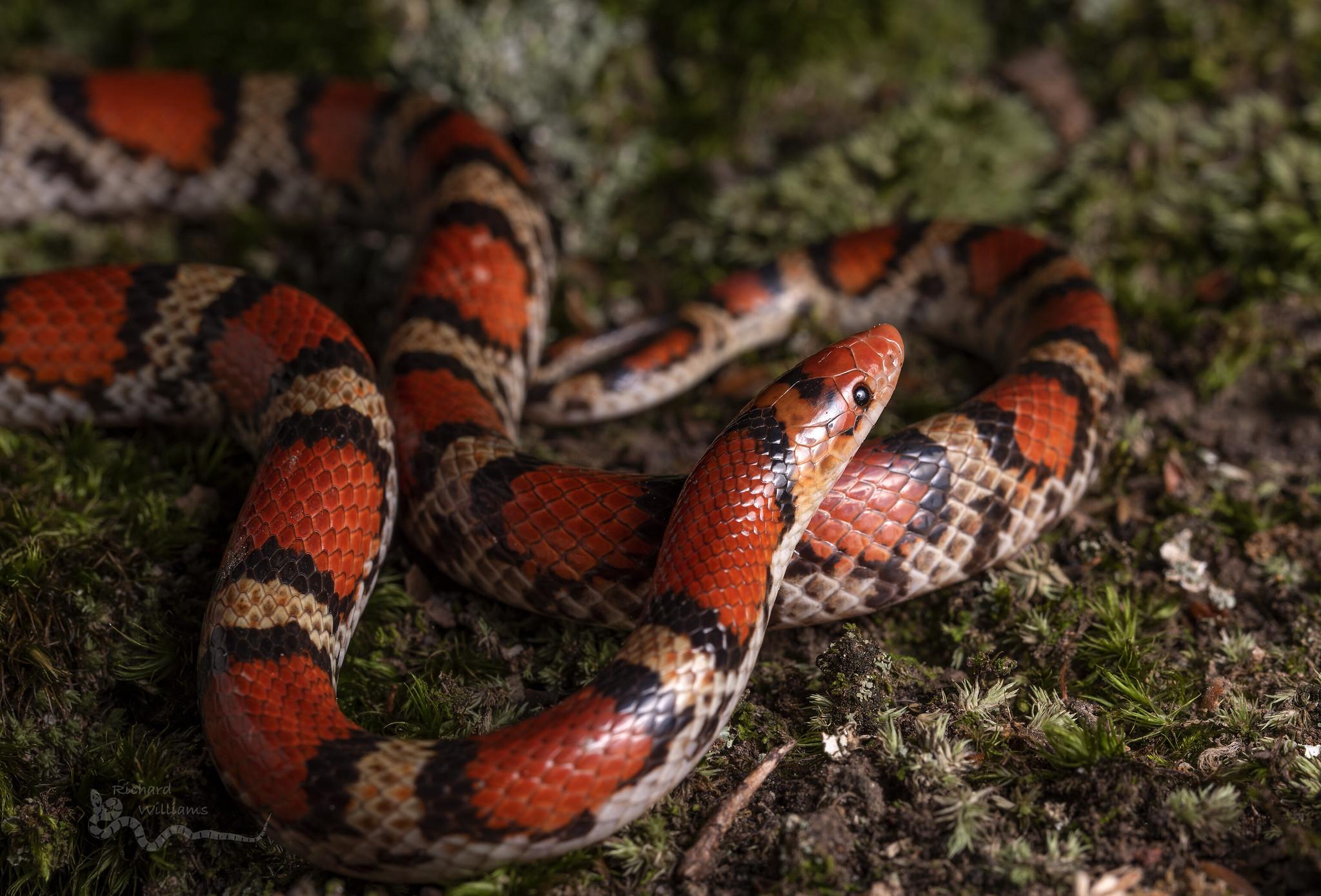 Serpiente de Coral - 2048x1389