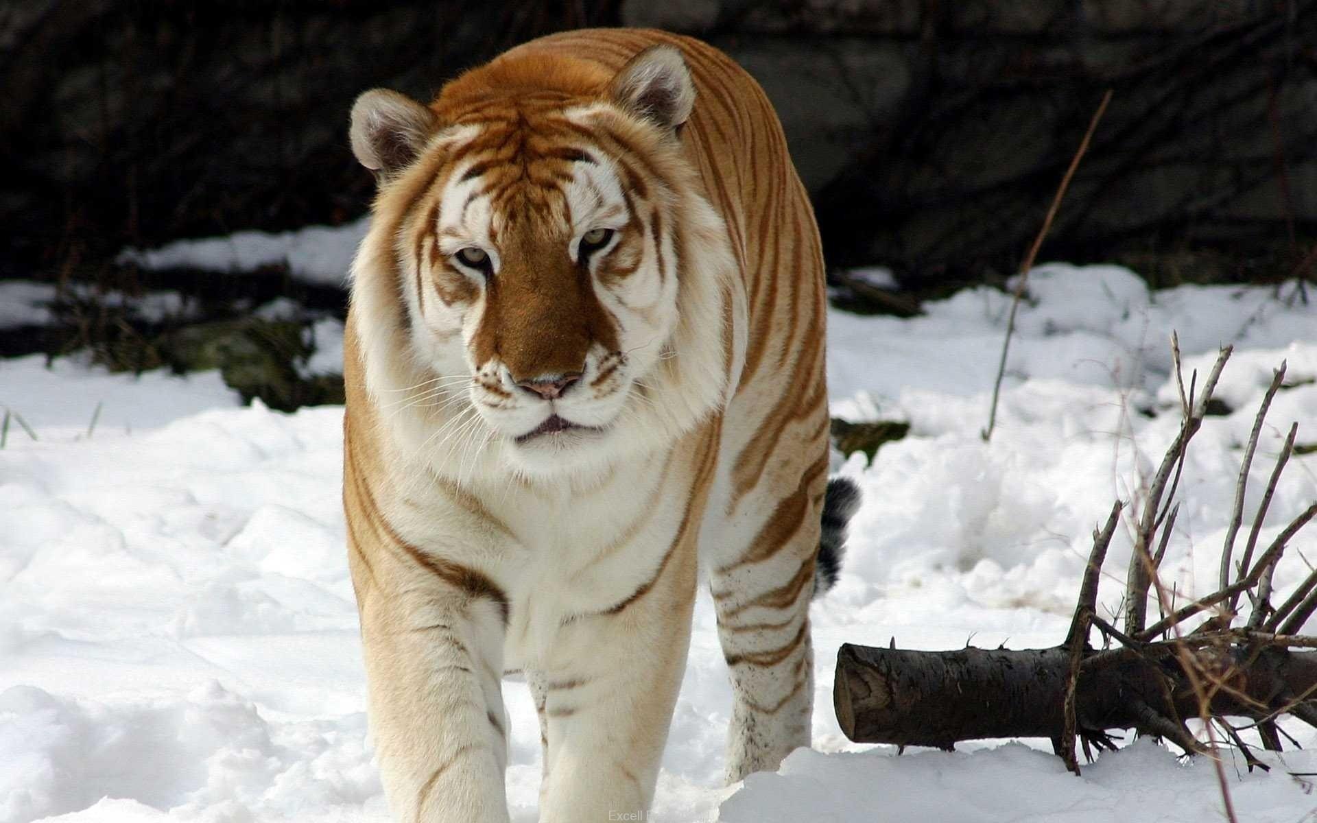 Tigre dorado - 1920x1200
