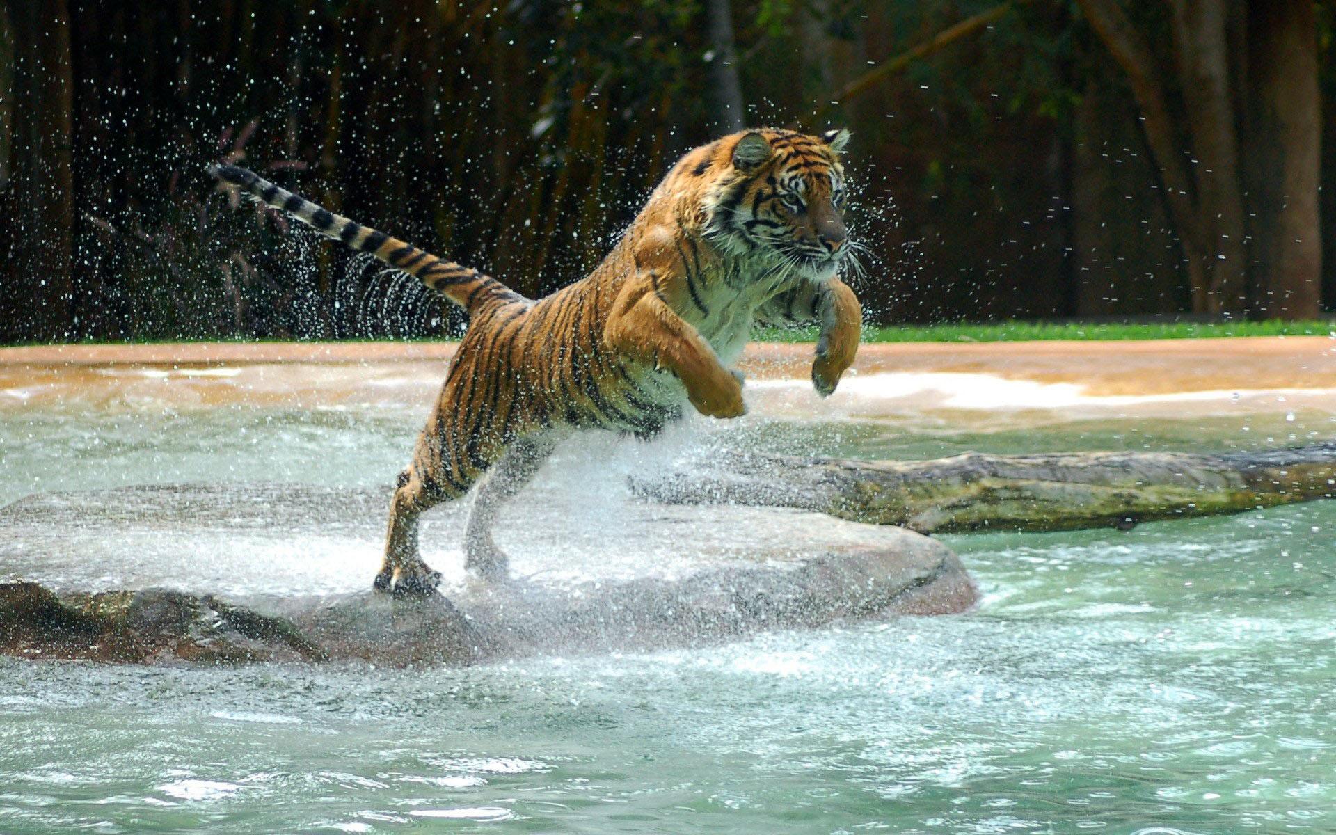 Tigre saltando - 1920x1200