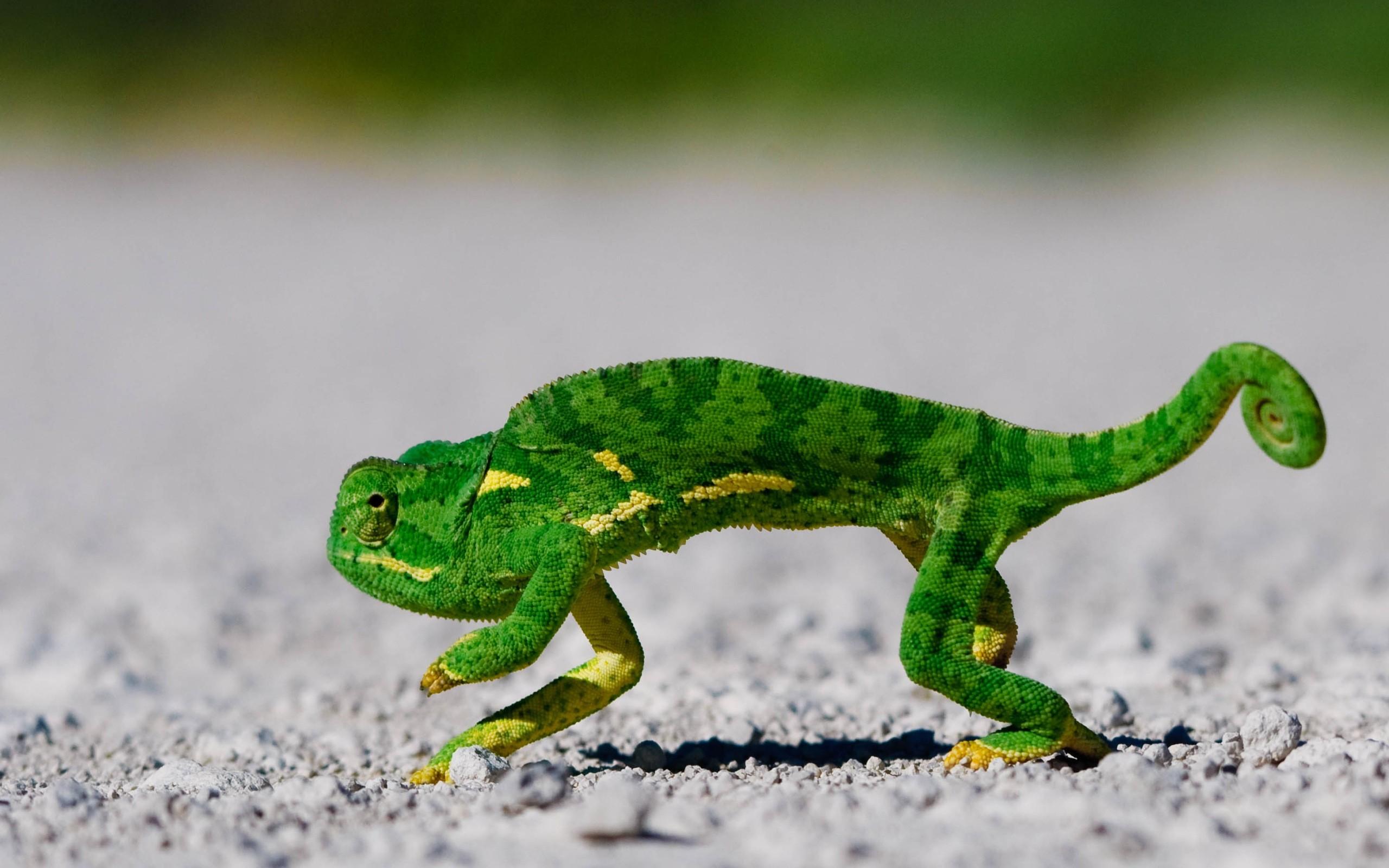 Un camaleón corriendo - 2560x1600