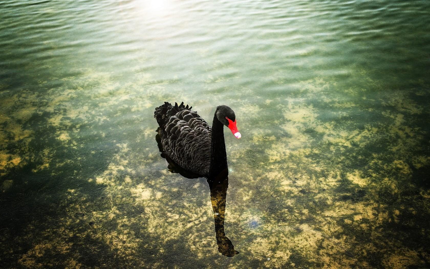 Un cisne negro - 1680x1050