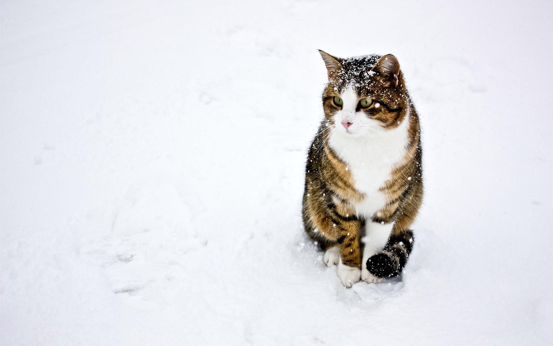 Un gato paseando en la nieve - 1920x1200