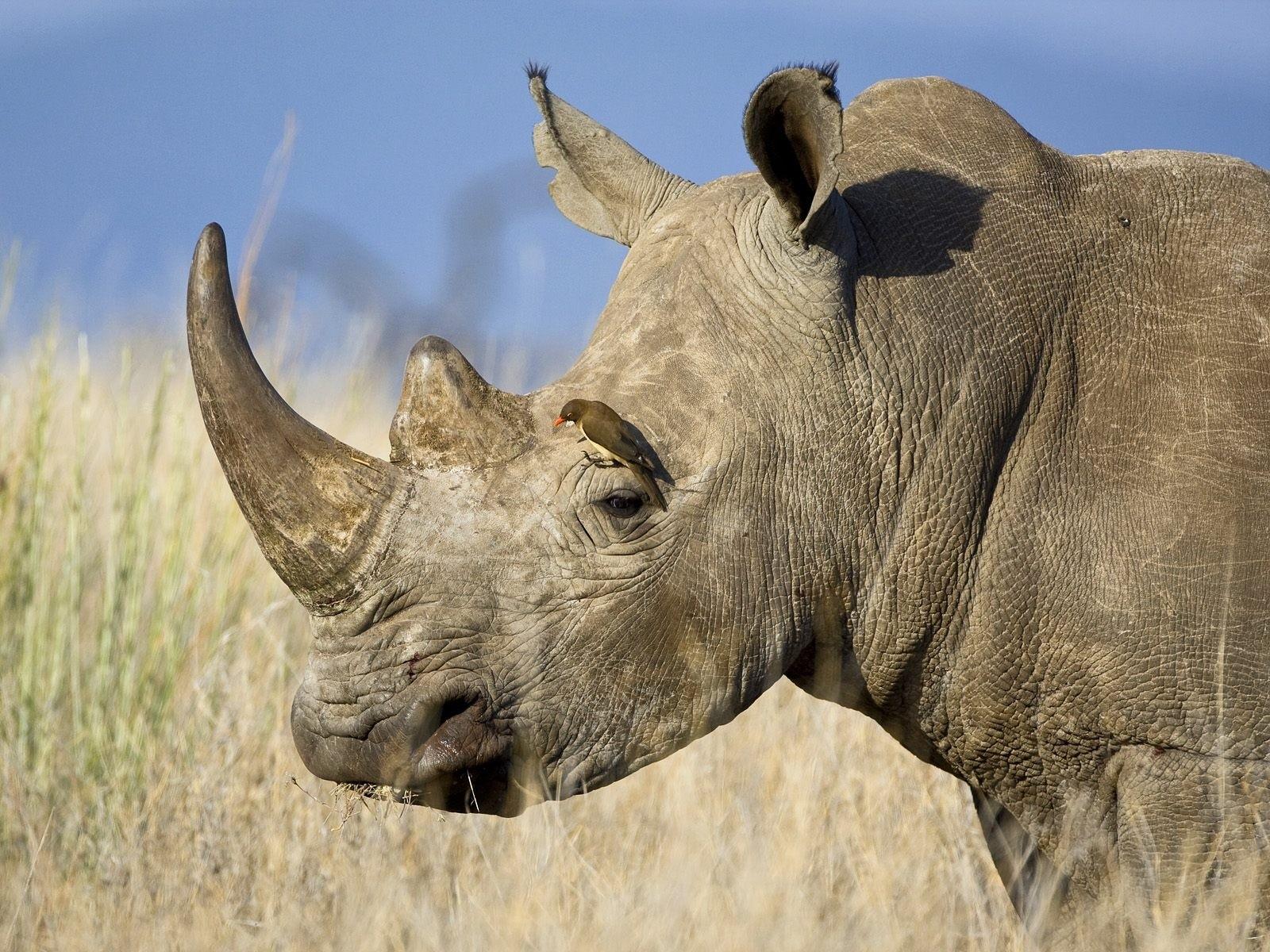 Un rinoceronte con dos cuernos - 1600x1200