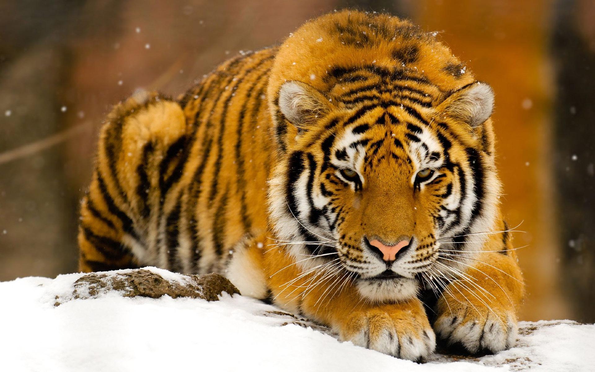 Un tigre en nieve - 1920x1200