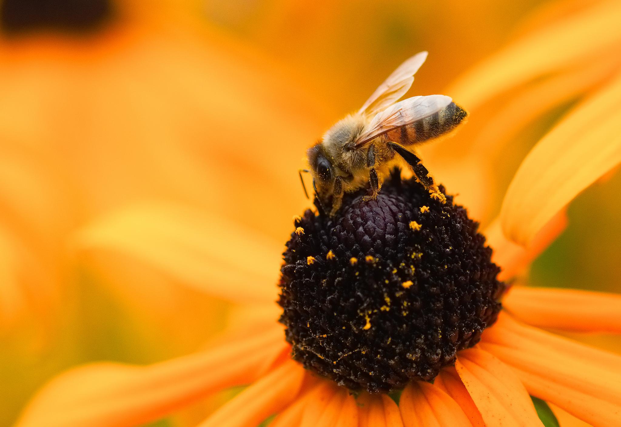 Una abeja en una flor amarilla - 2048x1409