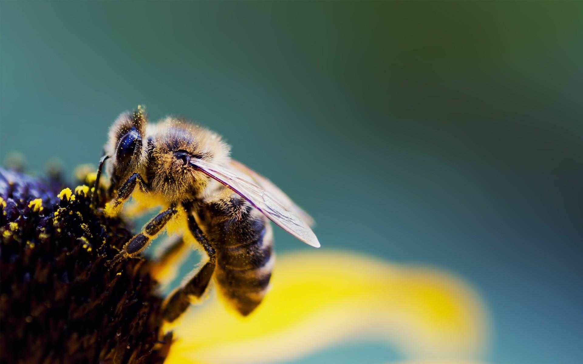 Una abeja gigante - 1920x1200