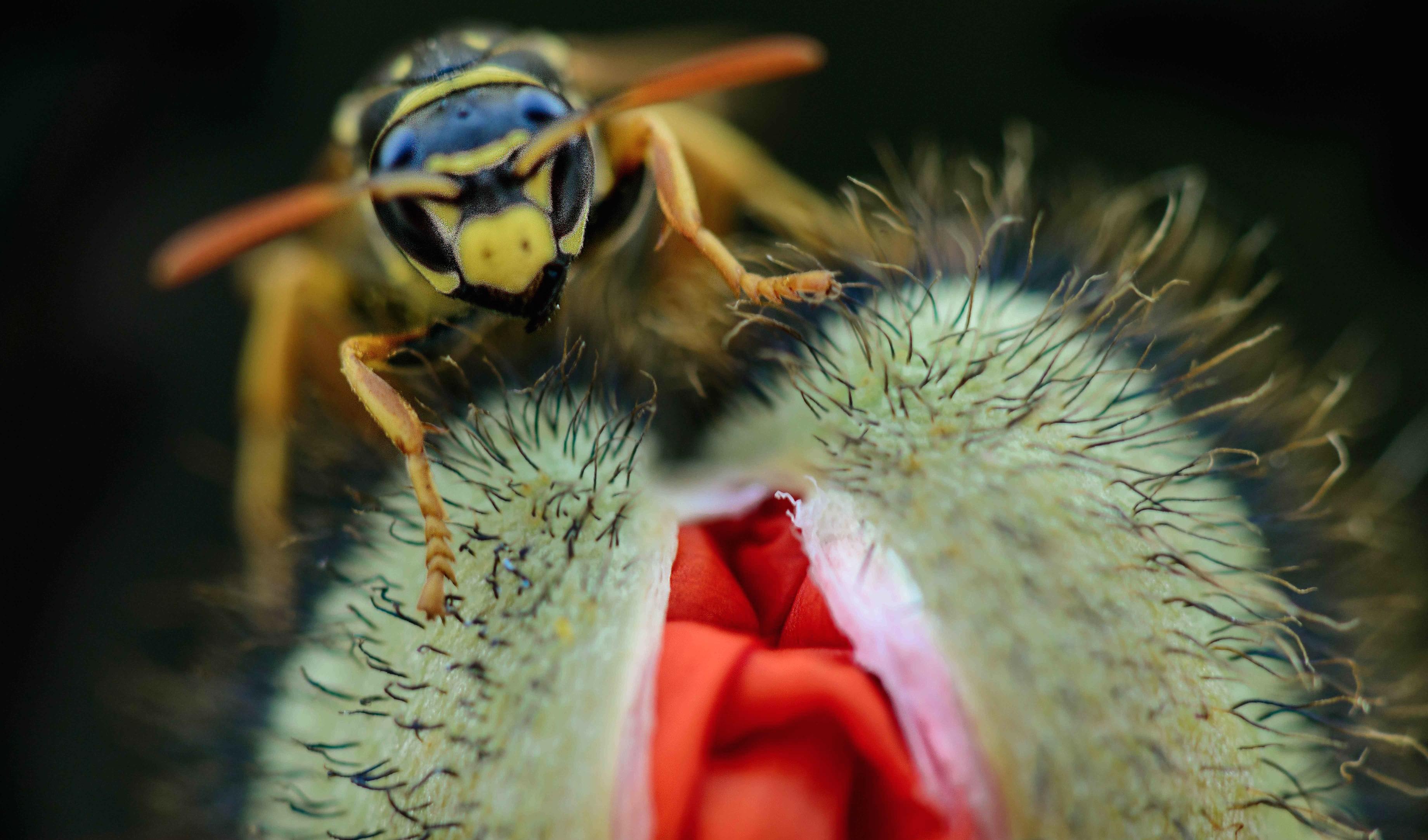 Una avispa y una amapola - 3680x2165