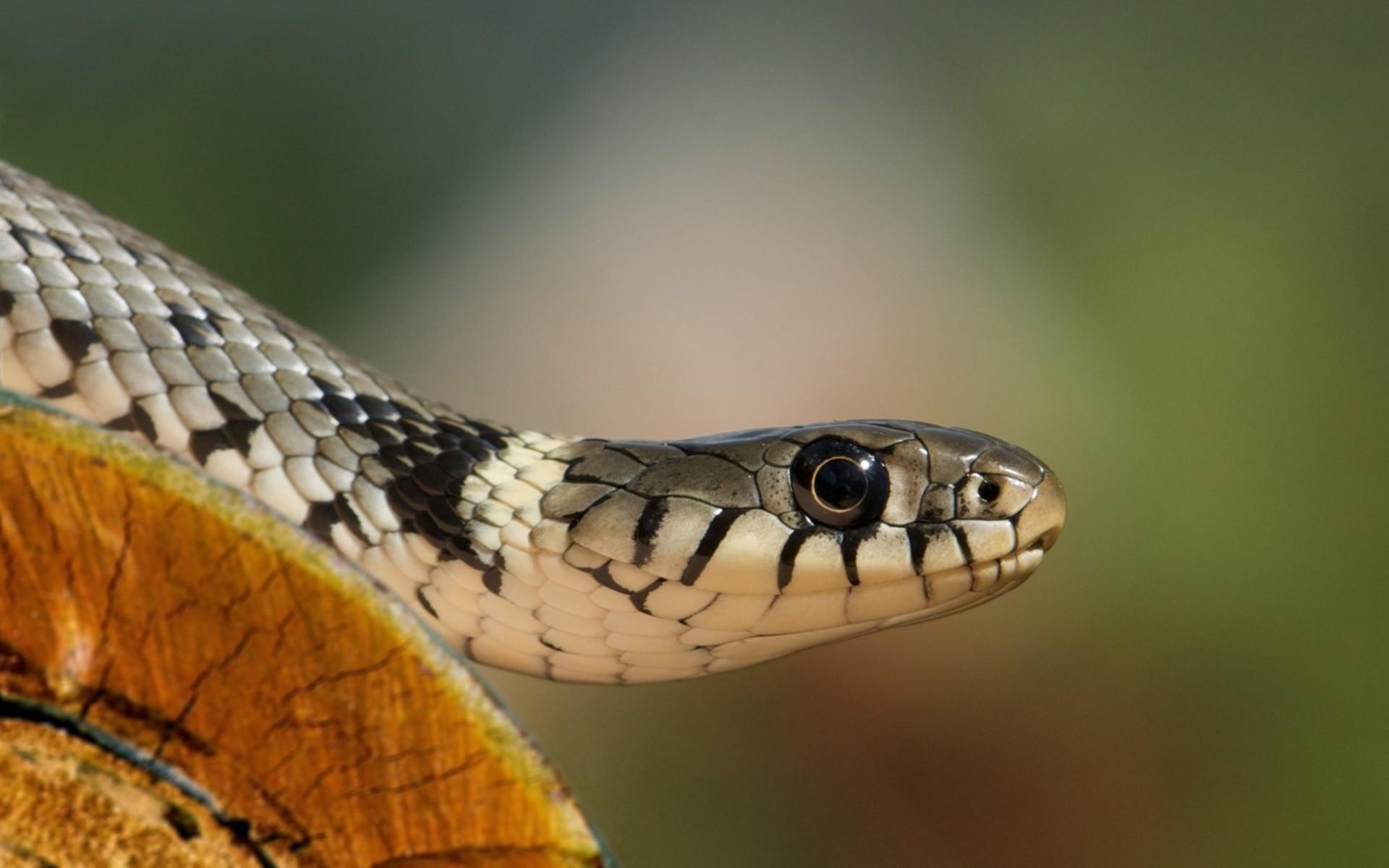 Una cobra - 1920x1200