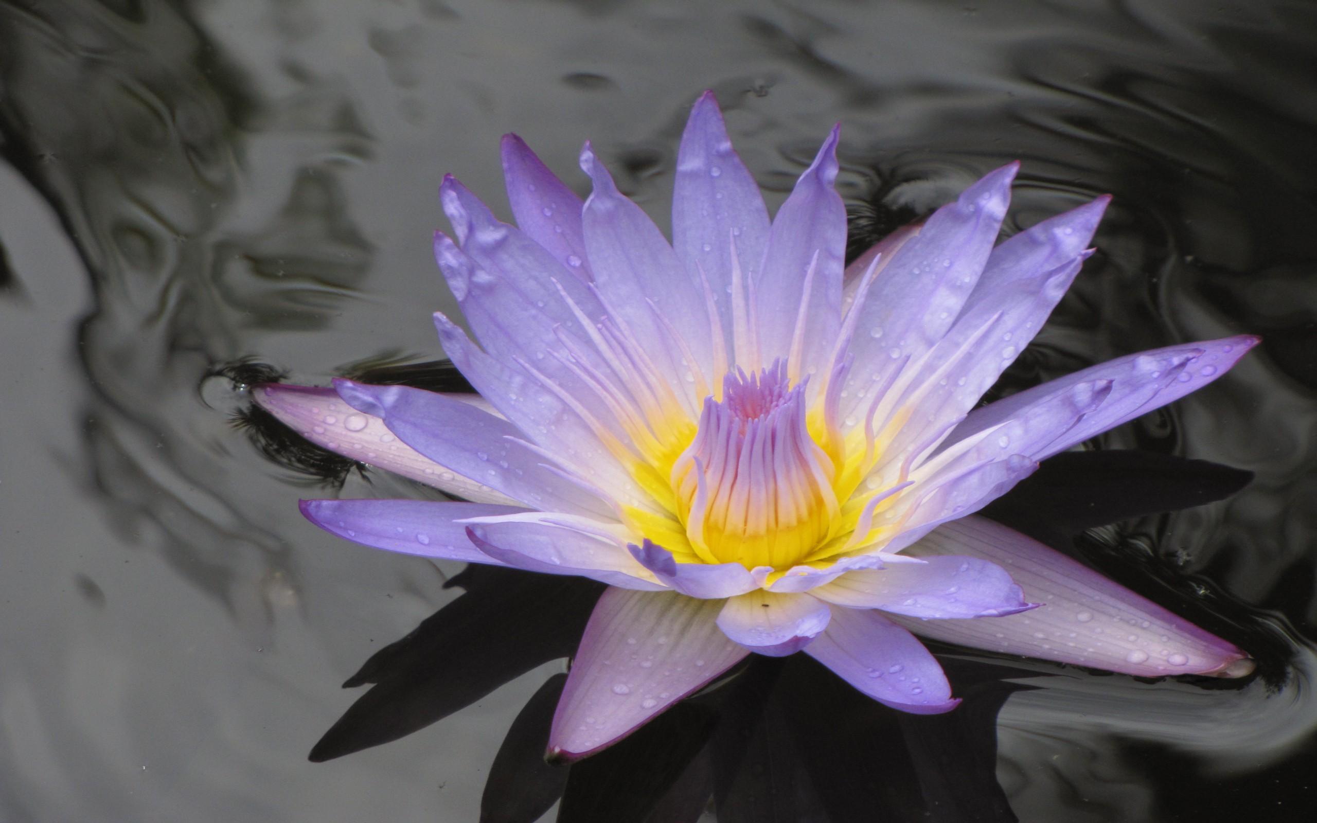 Una flor en un lago - 2560x1600