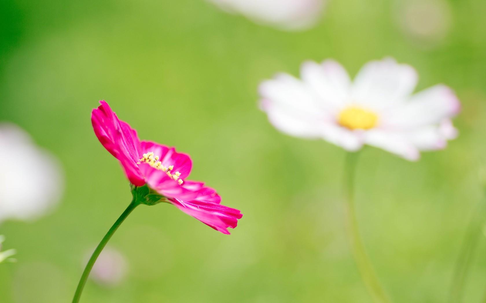 Una flor fucsia - 1680x1050