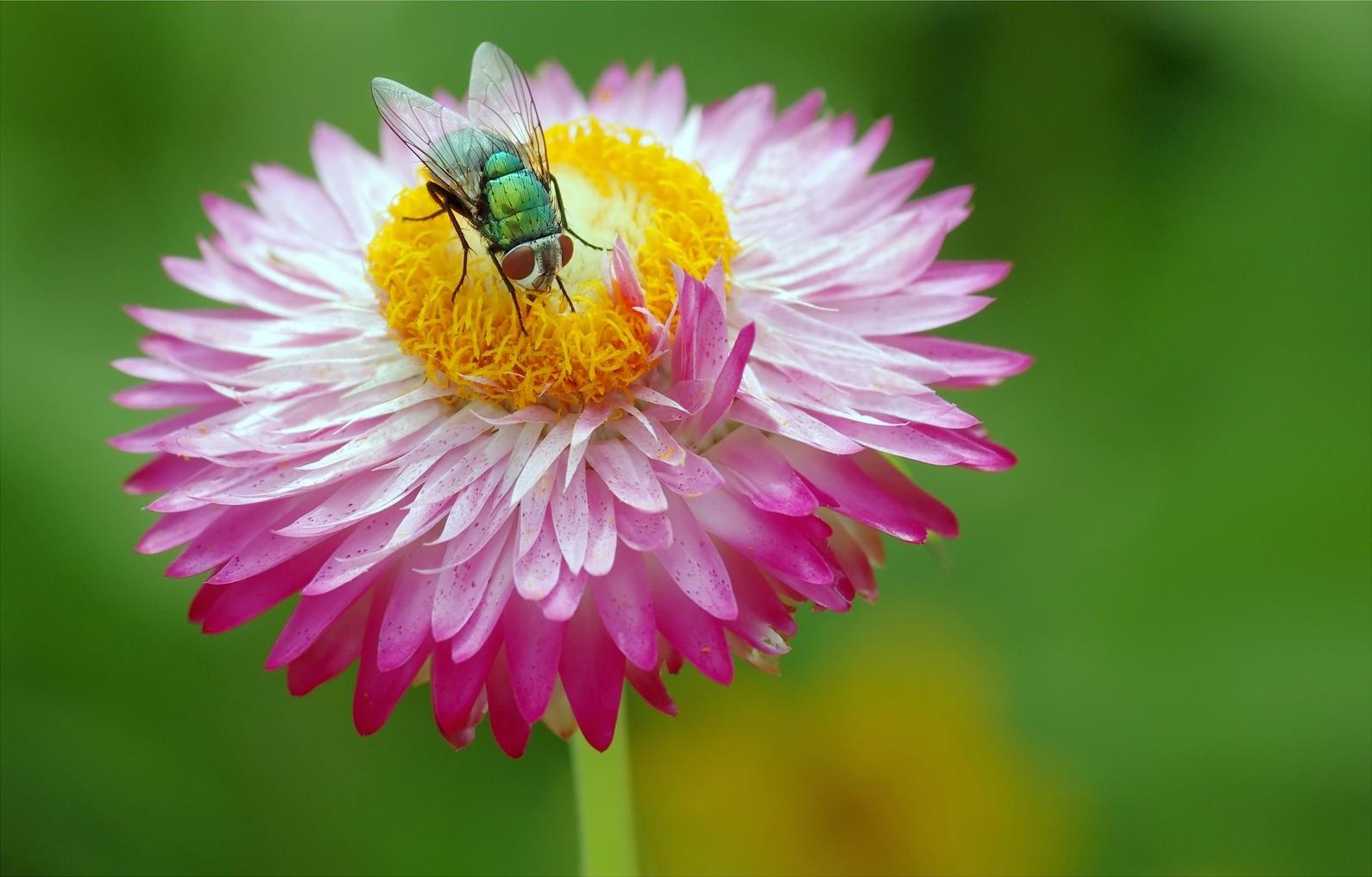 Una mosca y una flor - 1590x1017