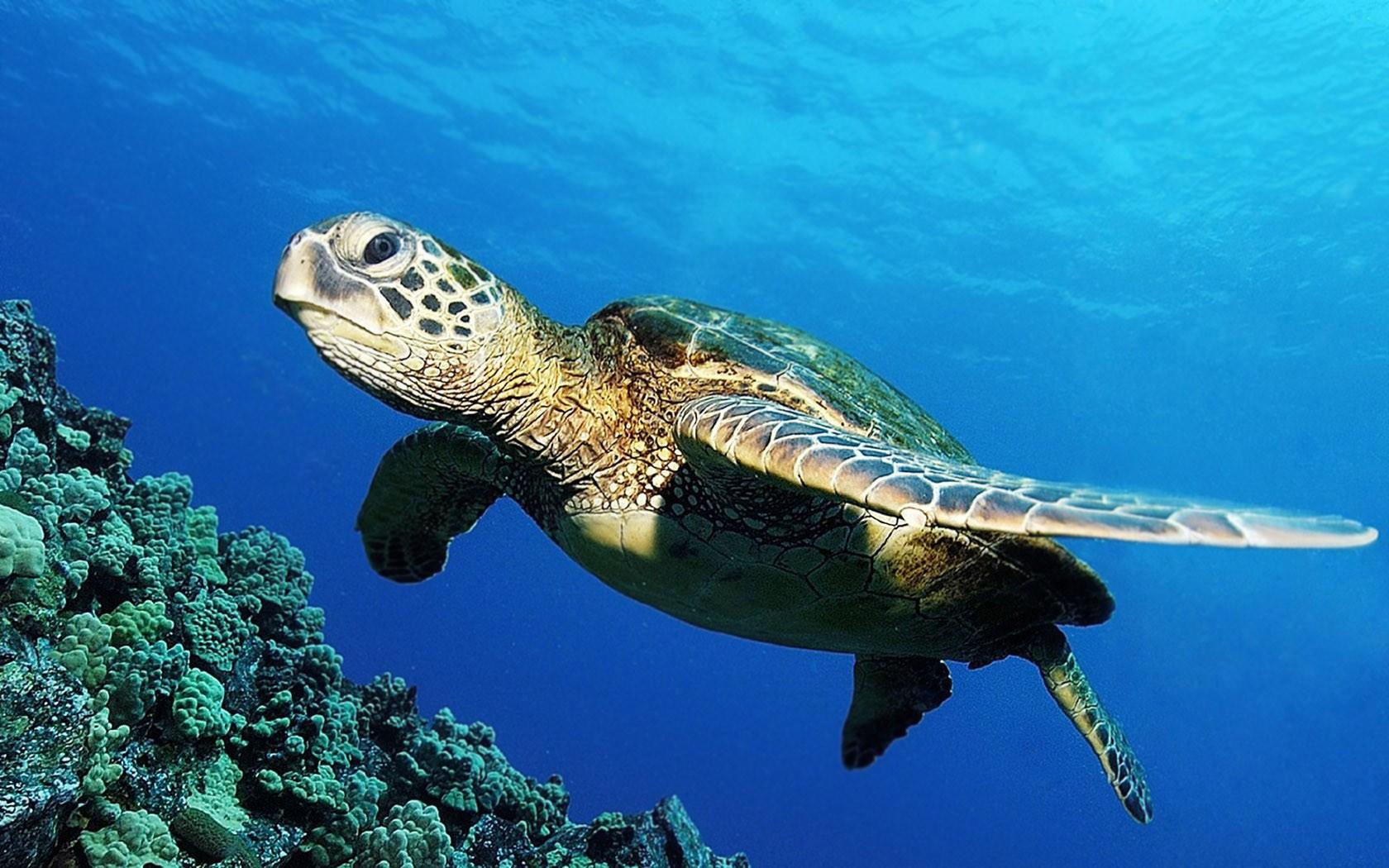Una tortuga en el mar - 1680x1050