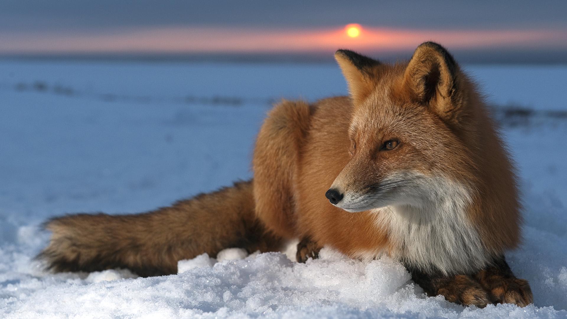 Zorro Rojo en la nieve - 1920x1080
