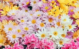 Flores margaritas de colores