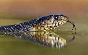 Una cobra en el río
